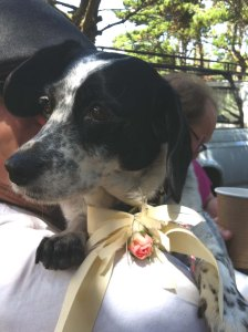 Pearl with ribbon and rose. She was one of the ring bearers in the wedding.
